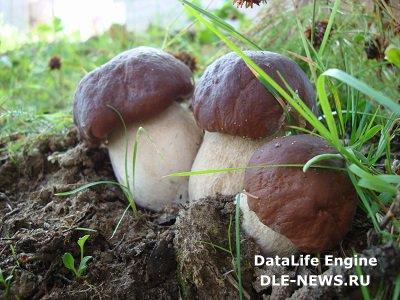 Выращивание лесных грибов на даче
