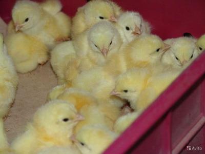 Выращивать цыплят можно и на даче