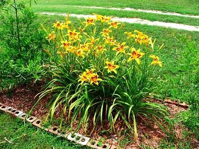 Какие лилейники посадить в саду